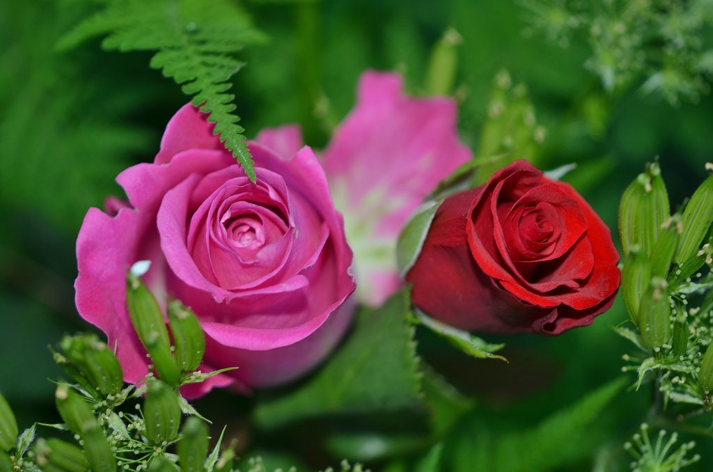 rose_flowers_images